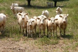 Salmorth koeien