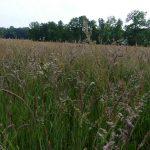 Twente, het Dal van de Mosbeek, 2016-5-28 71 grassen