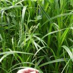 Twente, het Dal van de Mosbeek, 2016-5-28 8 Eekhoorngras